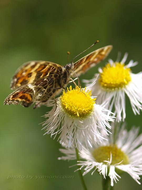 ヒメジョオンにとまるサカハチチョウ.jpg