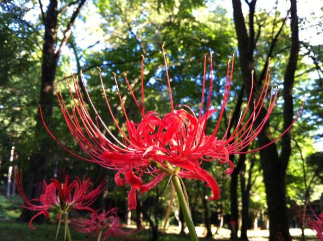 石川県樹木公園の彼岸花2010